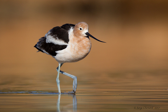 Avocette d'Amérique / American Avocet   / Gilbert Water Ranch, Arizona
